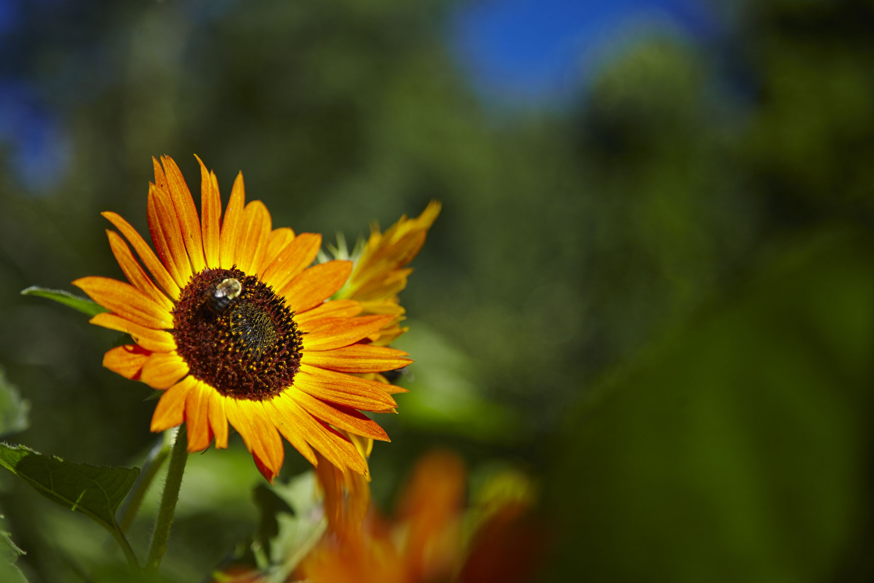 001_sunflowers_026
